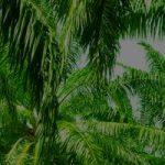 Fedepalma Palm Oil Mills